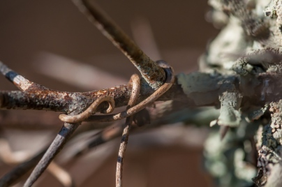 A tiny vine twists around a buckthorn thorn up in our front field.