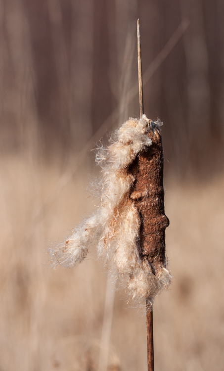 A lone cattail in the wetland along Taft Road.