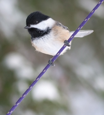 A chickadee momentary perches on the purple line holding our bird feeder.