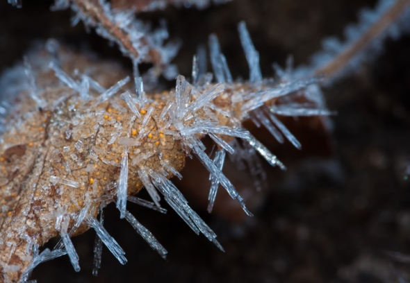 Spiky ice crystals form on a curled leaf down along Fargo Brook.