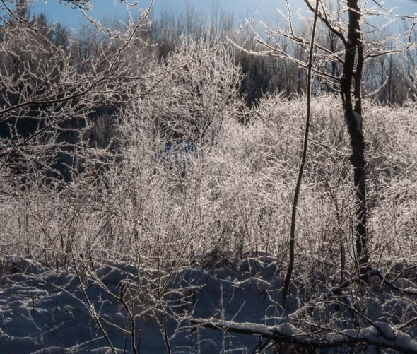 Frosted trees catch the morning sunlight along Fargo Brook yesterday morning.
