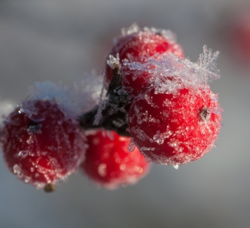Fine dendritic ice crystals formed on holly berries out by the pond.