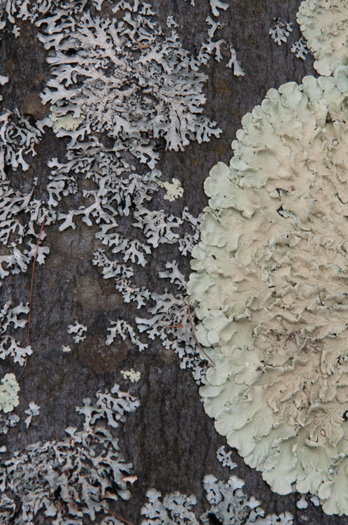 Lichen growing on the rocks of our back patio.