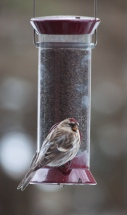 A redpole at our thistle feeder. There are a lot of these little birds about this season arriving in great busy flocks.