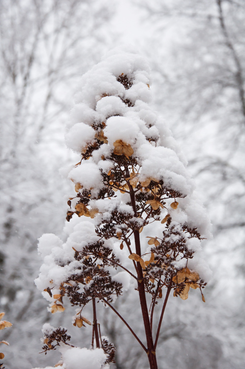 Light snow piles atop the dried hydrangea blooms next to the back patio–the same hydrangea where many summer bugs love to congregate...