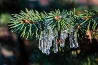 Tiny icicles form on the needles of a dwarf spruce as water drips off the eaves of our front porch.