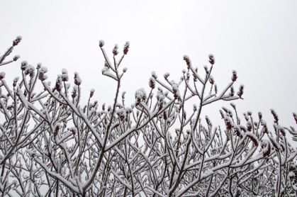 Snowy sumac in the front field