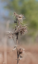 A dried and wind-blown thistles in our front field.