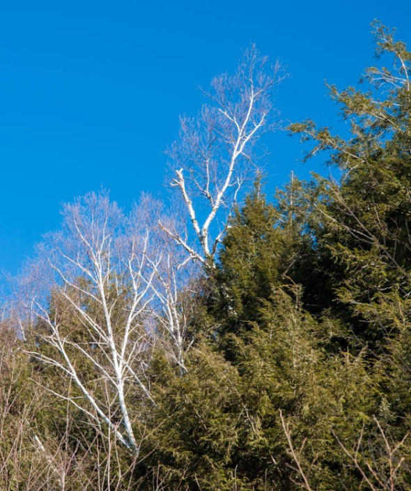 Paper birch pops out bright white against green of hemlock and blue of sky along Gillette Pond yesterday morning.