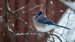 A buffed-up bluejay in the birch tree by our front feeder.