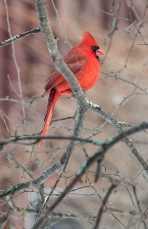 A cardinal munches on a sunflower seed at our feeder.