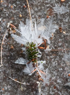 Delicate frost feathers form on a hemlock sprig...