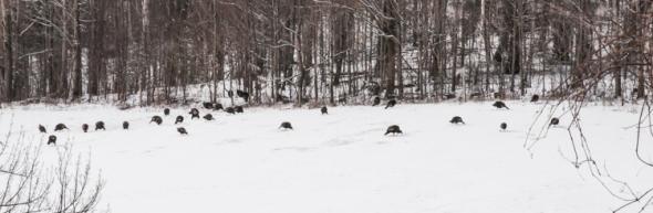 A large flock of turkeys up on Taft Hill.