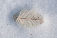 A ghostly beech leaf in the snow...