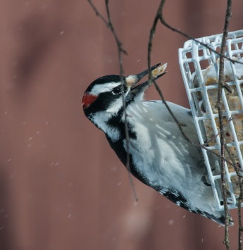 Mmmm, suet! A hairy woodpecker enjoys a bite...