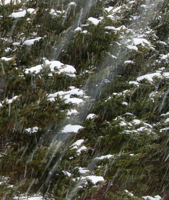 Snow falling in front of dark spruce trees. The shutter speed is set at 1/10th of a second rendering the long trails as the flakes fall.