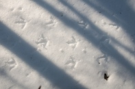 Turkey tracks in the snow...