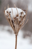 A dried Queen Anne's Lace makes a cup for snow.
