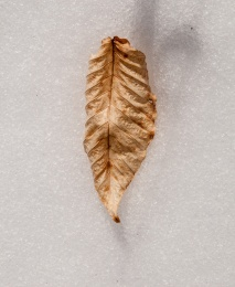 A dried beech leaf on the snow.