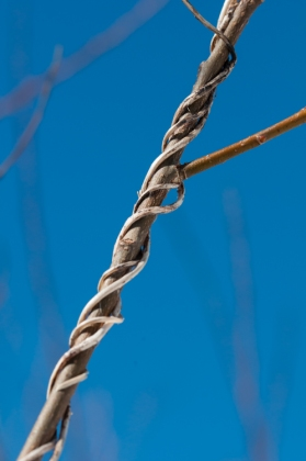 A twist of dried morning glory vine on a willow stem. Still now buds popping here as spring seems reluctant to arrive...