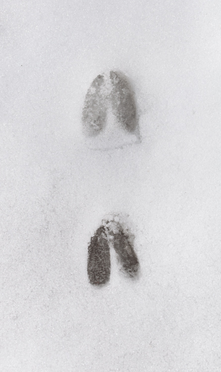 A pair of well defined white tailed deer tracks in the crunchy snow of our front yard.