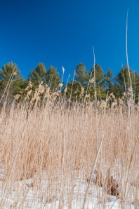 Looking up to white pines and blue sky through common reeds across Fargo Brook.
