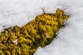 A patch of sphagnum moss peeks out from beneath the snow.