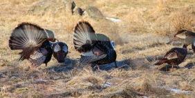 A pair of tom turkeys struts their stuff for the ladies. Photo courtesy of Jim Wood (thanks Jim--great shot!)