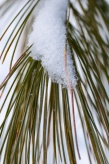 A dusting of snow on white pine needles out by the pond.