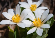 Blood root--no longer playing coy--blooms along Fargo Brook.