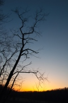 A cherry tree stands in bare silhouette against a draining sunset sky up by a nearby beaver pond.
