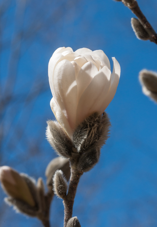 A magnolia blossom popping in our back garden.