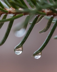 Rain drops poised at the tip of spruce needles. If you look closely at the left drop, you can see another spruce tree reflected.