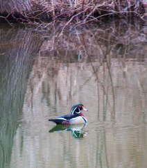 A lovely wood duck drake patrols the pond yesterday morning.
