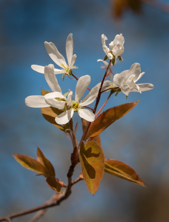 Amelanchier blooming along Taft Road.