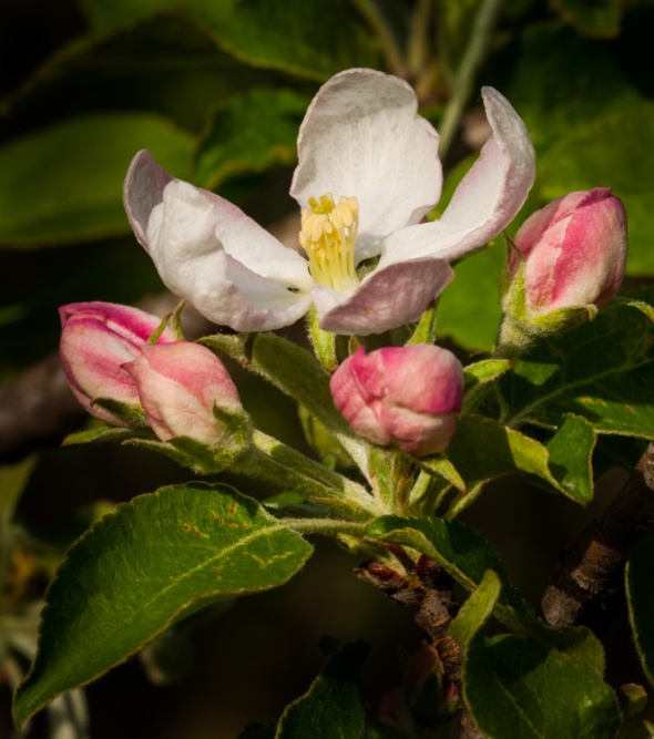 Apple blossoms popping on the backyard tree by Fargo Brook.