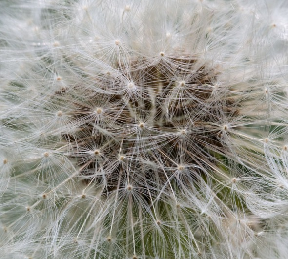 A dandelion seed head takes on geometric qualities when viewed up close.