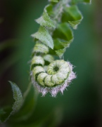 A fern unfurls by Fargo Brook.