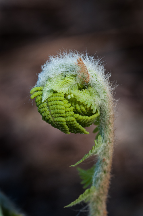 A tightly wound fern head unfurls along Taft Road.