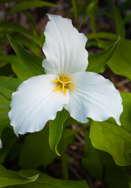 Large-flowered trillium blooming in Monkton.