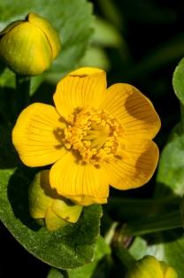 Marsh marigold flowering along Taft Road.