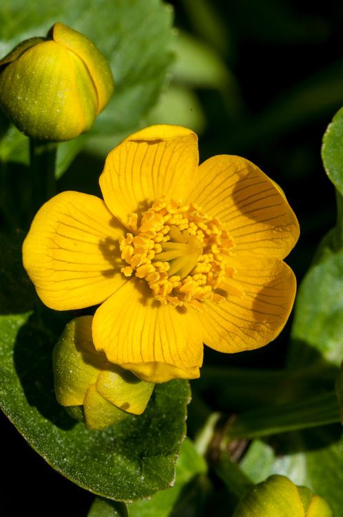 Marsh marigold flowering along Taft Road.