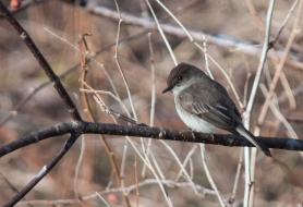 A phoebe perched on the buckeye out back. These busy little birds are one of my favorite spring harbingers.