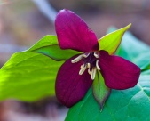A purple trillium blooming along Taft Road.