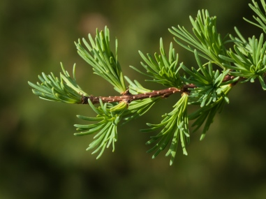 Tamarack needles budding in our front field.