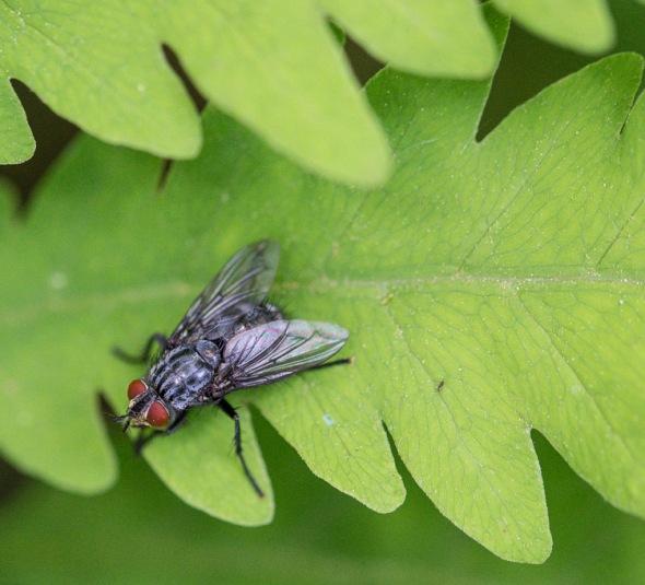 A flesh fly on a fern frond along Fargo Brook.