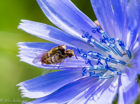 Multitasking: a pair of copulating flies feed on a chicory blossom.