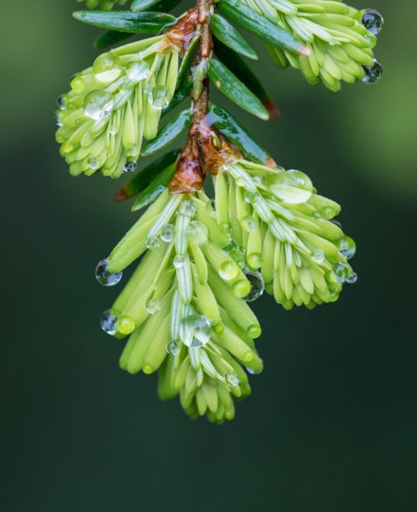 Yesterday's drizzle leaves fine droplets on new hemlock shoots.