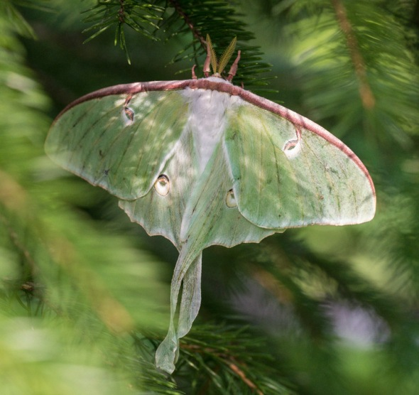 A luna moth dries its wings on one of our front yard spruce trees.
