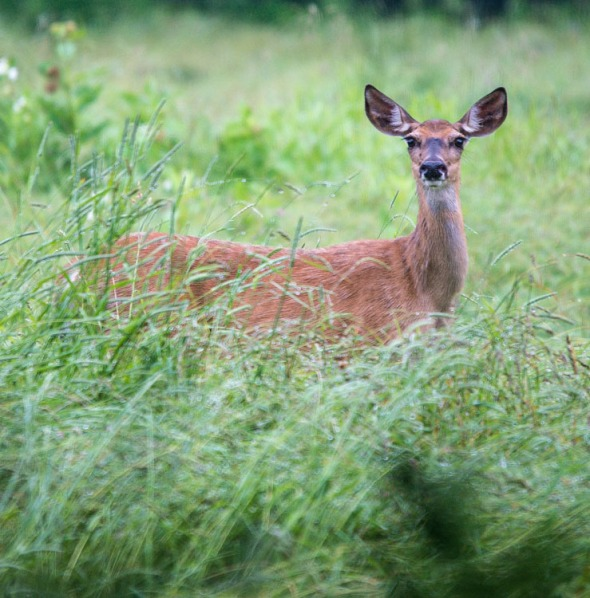 A white tail doe on alert in the hay field along Camel's Hump Road yesterday morning.